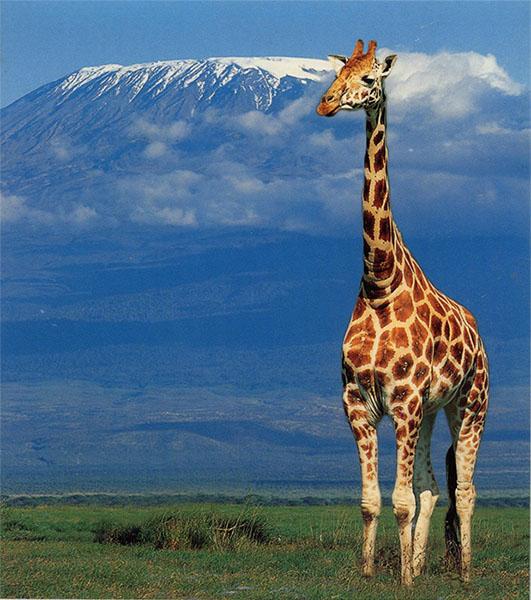 image of Kilimanjaro & Giraffe
